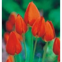 Tulipan Wielkokwiatowy Orange Bouquet