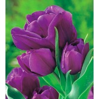 Tulipan PURPLE BOUQUET 1 szt.