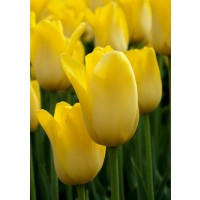 TULIPAN YELLOW KING 1 SZT.