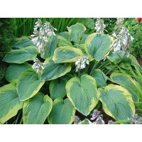 Hosta - Funkia Francess Williams 1 szt.