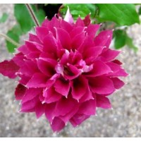 Clematis Red Star